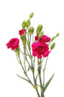 Carnation flowers and buds