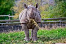Black Rhino Eating Some Straw