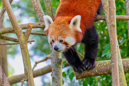 Red panda climbing through trees