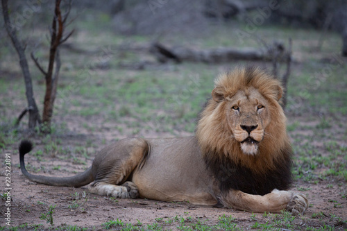 Photo Full length of a big matured male lion
