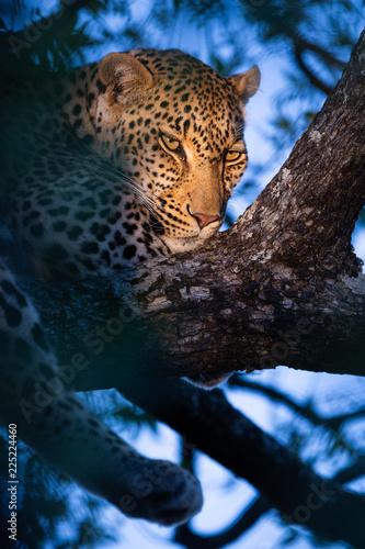 Tuinposter Luipaard Calm leopard in tree