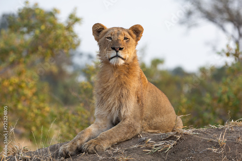 Foto op Plexiglas Leeuw Young male lion with perfect posture