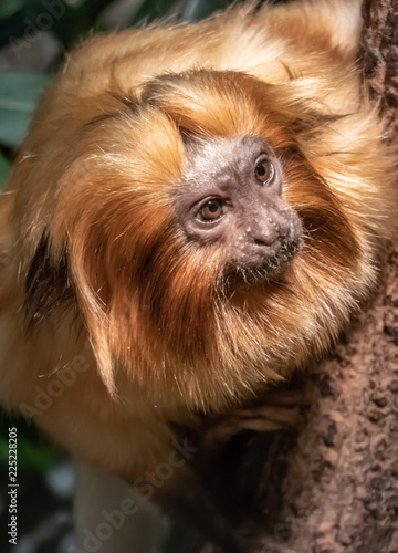 Fotobehang Leeuw Golden lion tamarin (Leontopithecus rosalia) closeup. Also known as the golden marmoset, is a small New World monkey native to the Atlantic coastal forests of Brazil