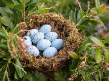 Nest Of 9 Blue Jay Eggs Sittin...
