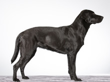 Dog Profile From The Side Isolated On White. Labrador Dog Portrait, Sideways. Image Taken In A Studio.