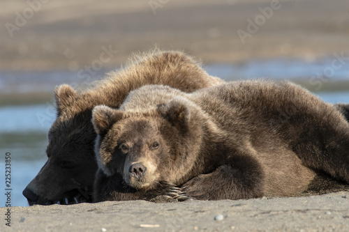 Brown bear mom & cubs resting on the beach; Alaska