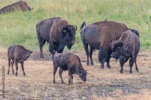 Photo  Bison In Yellowstone