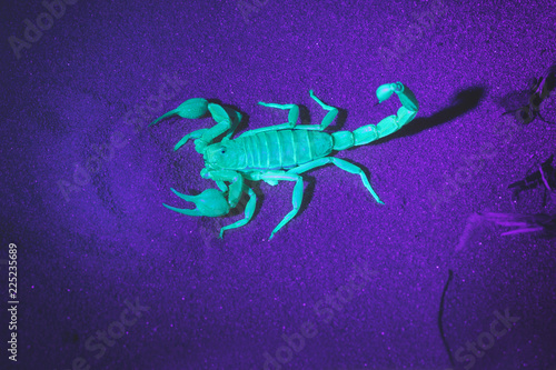 Hadrurus arizonensis,  Giant Desert Hairy Scorpion. Night photography in ultraviolet light