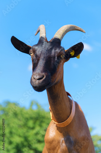Portrait Brown goat against blue sky