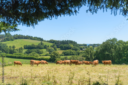 Keuken foto achterwand Khaki French cows in landscape France