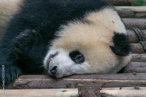 Fotografia, Obraz  Giant Panda, Ailuropoda melanoleuca
