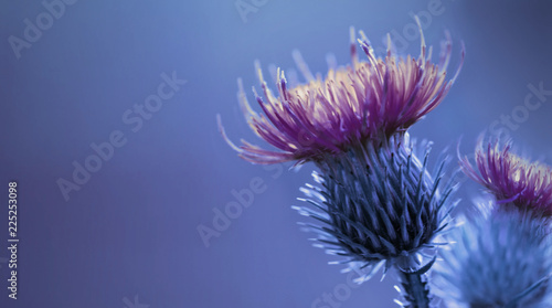 Floral Blue Purple Background Purple Thorny Thistle Flower A