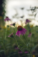 Echinacea, Or Coneflowers, In A Midwest Prairie Meadow At Sunset
