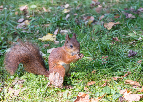 Foto op Canvas Eekhoorn red squirrel with fluffy tail eats nut on green grass with fallen leaves