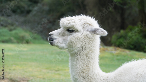 Foto op Aluminium Lama White funny Lama alpaca in New Zealand