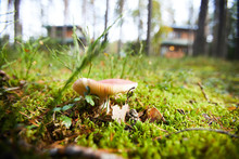 Close-up Of Toadstool Mushroom Growing On Green Lawn With Leaves, Twigs And Pine Cones In Forest