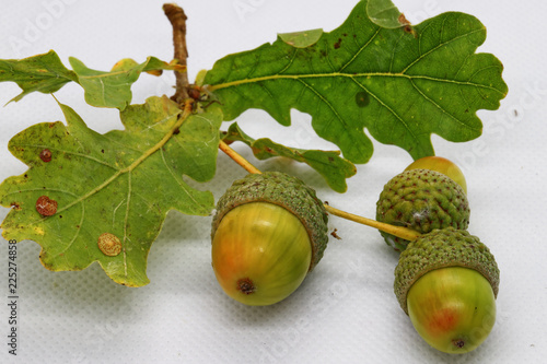 Macro Close Up Of Three Green Acorns Attached To A Green Oak