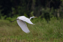 Image Of Great Egret(Ardea Alba) Flying On The Natural Background. Heron, White Birds, Animal.