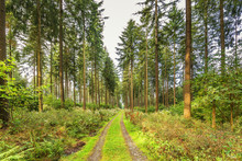 Beautiful Forest Landscape At Sunrise In Eifel Germany With Unpaved Walkway Between Woods With Spruce And Douglas Fir With Undergrowth Of Various Wild Plant Species
