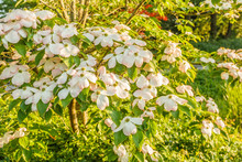 Closeup Or Branch With Flowers With Soft Old Pink Edges Or Cornus Kousa Variety Stellar Pink