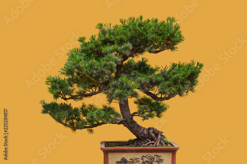 In de dag Bonsai Bonsai tree on yellow background