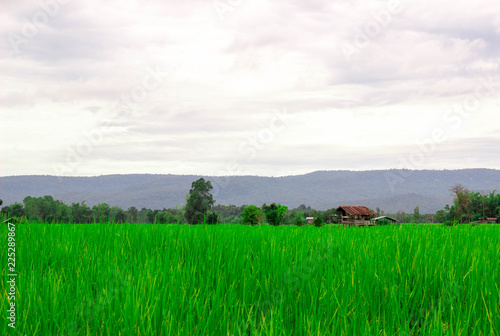 Green rice field near the mountain Beautiful landscape
