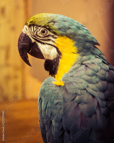 Foto op Aluminium Papegaai Exotic wild parrot aura of blue-yellow color close-up at the zoo. Exotic pet