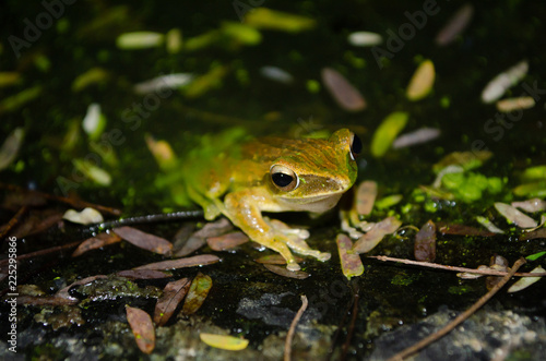 Tuinposter Kikker tree frog is yellow body ,like plant color