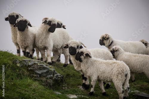 Eine Herde weißer Schafe am Berg