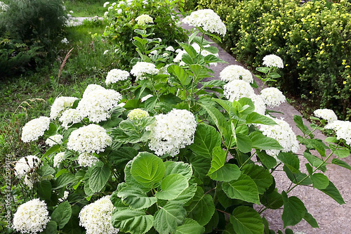 white hydrangea flowers after the rain the summer