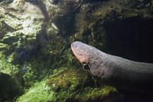 Electric Eel Fish (Electrophor...