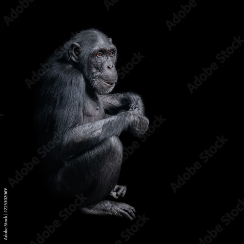 Photographie Portrait of curious Chimpanzee like asking a question, at black background
