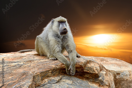 Baboon on stone in National park of Kenya