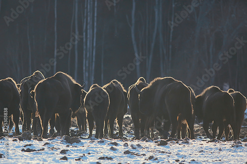 Valokuva  Aurochs bison in nature / winter season, bison in a snowy field, a large bull bu