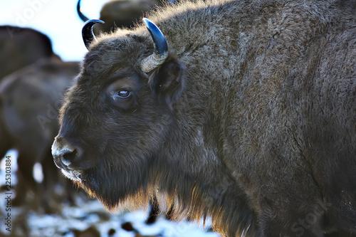 Foto op Aluminium Bison Aurochs bison in nature / winter season, bison in a snowy field, a large bull bufalo