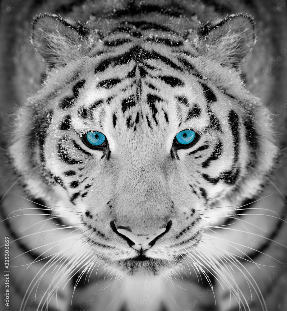 Fototapeta Tiger portrait in winter time with blue eye
