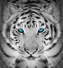 Fototapeta Współczesny Tiger portrait in winter time with blue eye