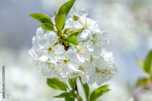 Staande foto Lente Spring background art with white cherry blossom