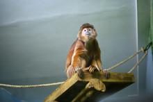 Javanese Langur, Monkey, Orange, Shaggy Primacy Sits On A Wooden Shelf In A Zoo Indoors, Looks In Excitement, In Danger, Alerted