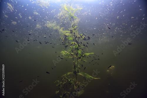 Fotografia, Obraz  tadpoles underwater photo / pond ecosystem, underwater life, tadpoles in nature