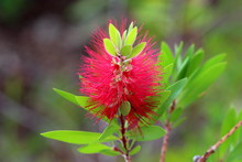 Bottlebrush Or Callistemon Pla...