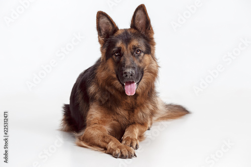 Stampa su Tela Shetland Sheepdog sitting in front of a white studio background