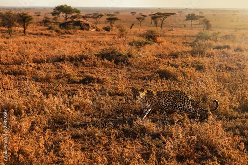Deurstickers Luipaard Beautiful leopard hunting in seregenti national park.