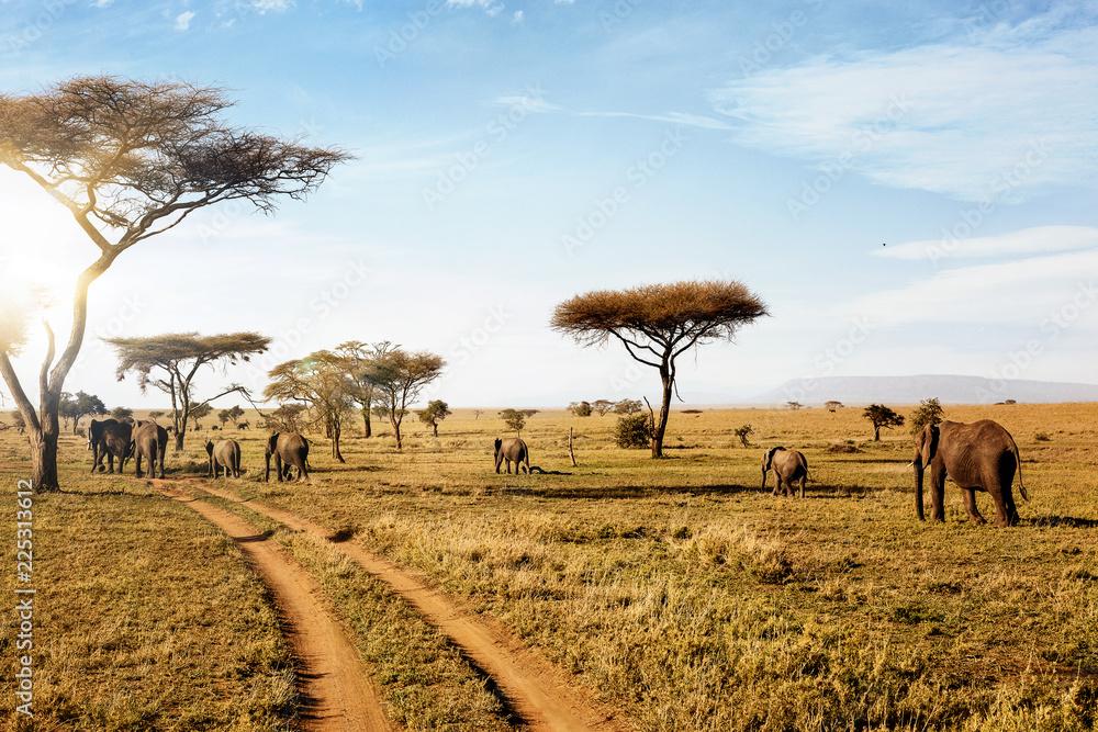 Fotografía  Group of elephants walking in wild nature in savanna.