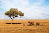 Fototapeta Sawanna - African Elephant family walking on savanna.