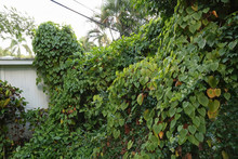 Air Potato Vines Engulfing A Backyards By Killing And Smothering Other Plants.  Air Potato Is A Vigorously Twining Herbaceous Invasive Vine.