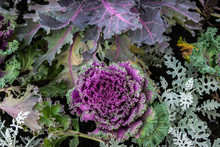 Ornamental Kale Or Cabbage In Flower Bed