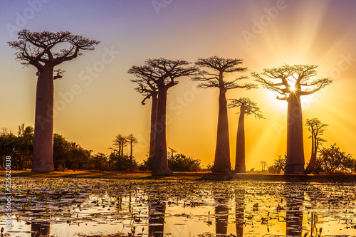 Obraz na plátně Avenue of the baobabs with an amazing sunset