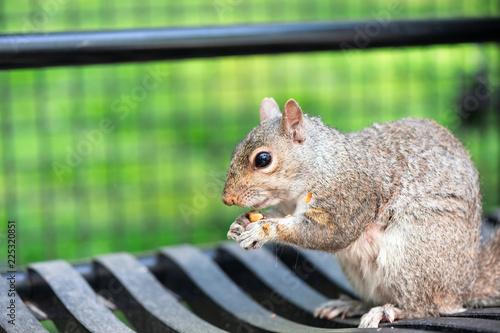 Closeup portrait of an eastern gray squirrel eating a peanut