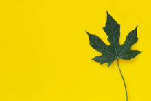 Green Leaf Chaya Plant Isolated On Yellow Background.